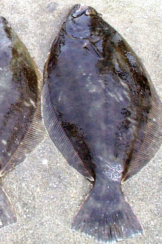 fluke fishing